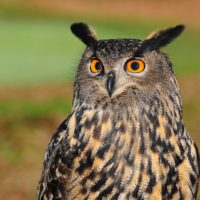 european-eagle-owl-2010346_960_720
