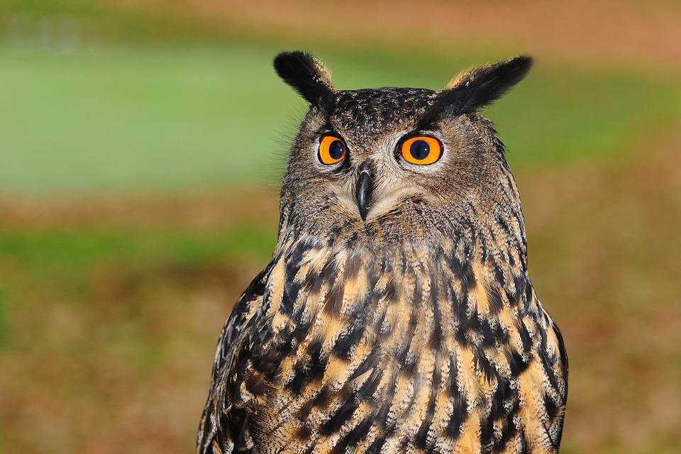 european-eagle-owl-2010346_960_720